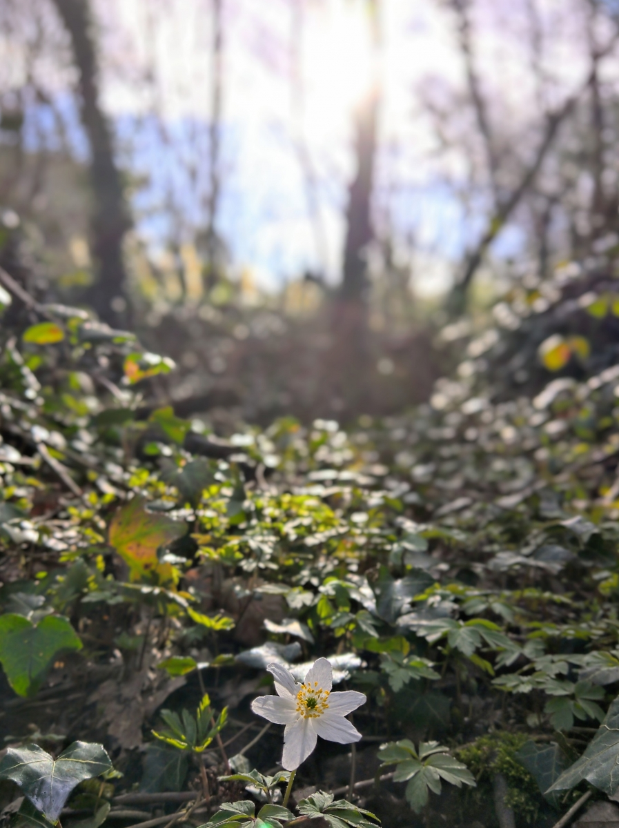 Wood Anemone, Bolnore Woods