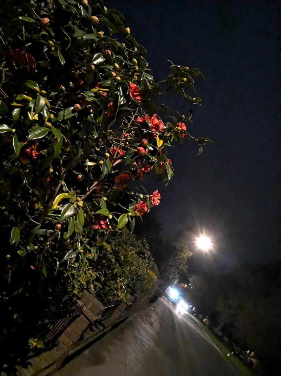Camellia at night
