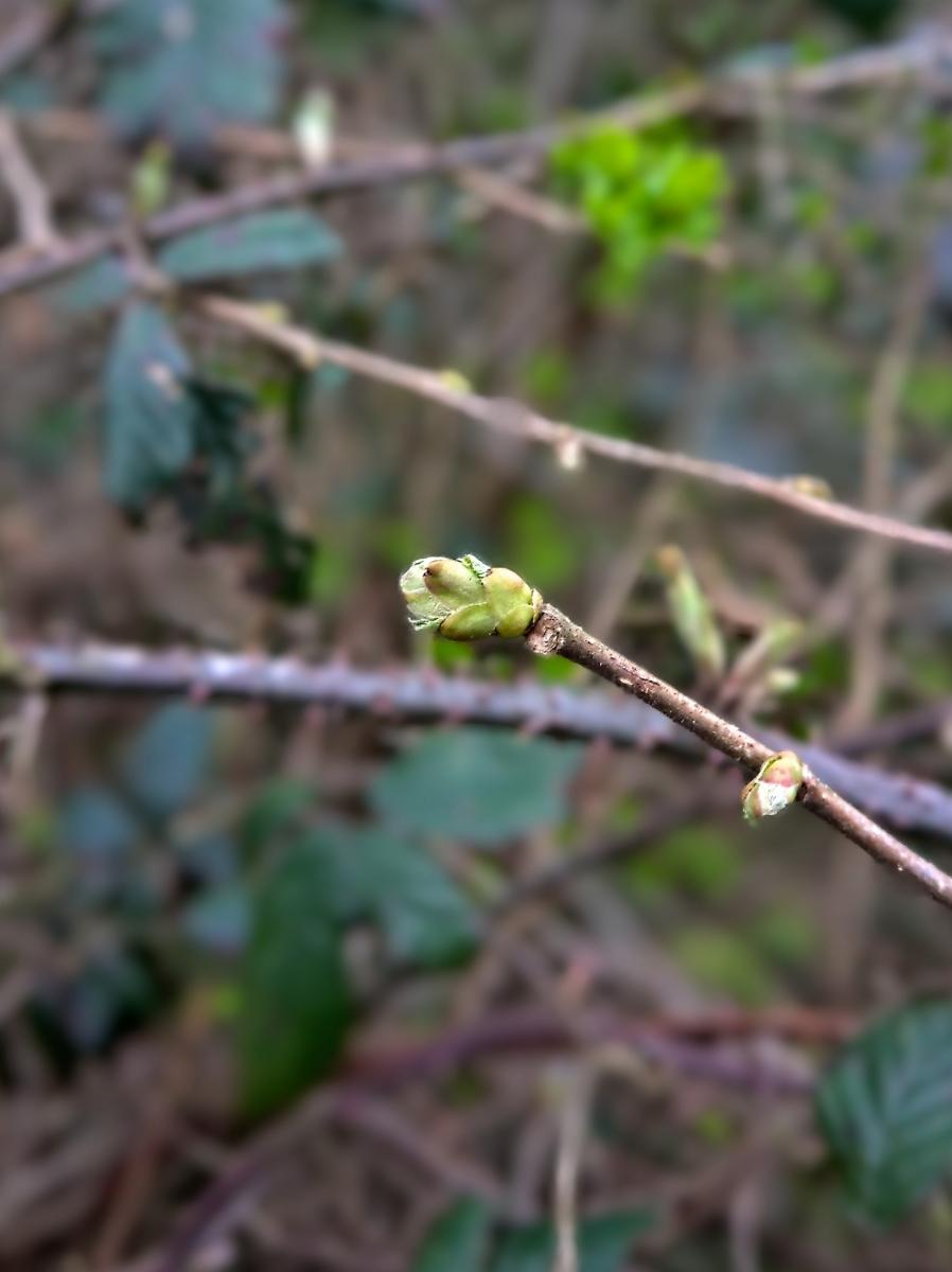 Spring bud in Sussex