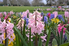 Hyacinths at Muster Green