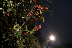 Camellia at night